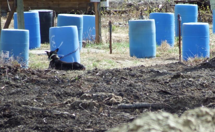 Alaskan Sled Dogs